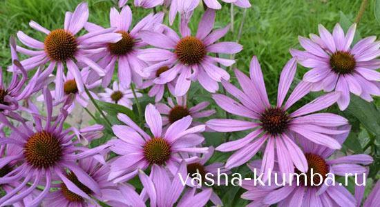 трава эхинацея пурпурная инструкция по применению