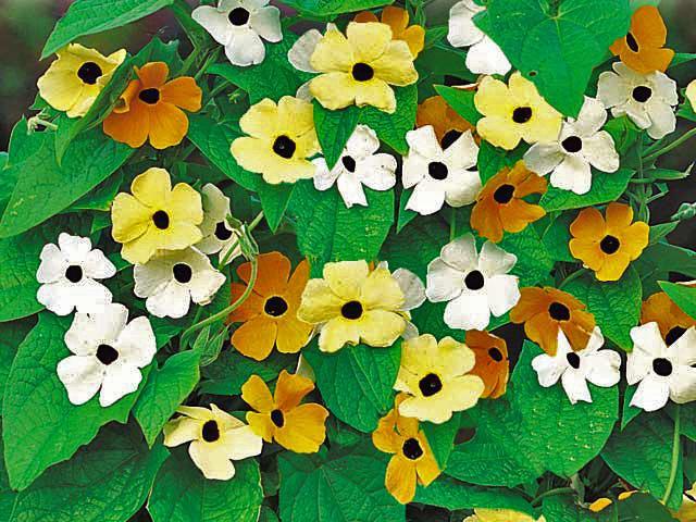 Тунбергия цветок
