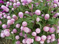 Цветы садовые многолетние