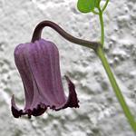 Kлематис мелкоцветковый