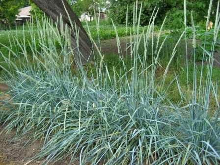 Многолетняя декоративная трава кроссворд