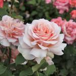 Розы чайно гибридные фото