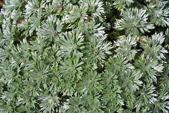 декоративные травы для сада фото с названиями