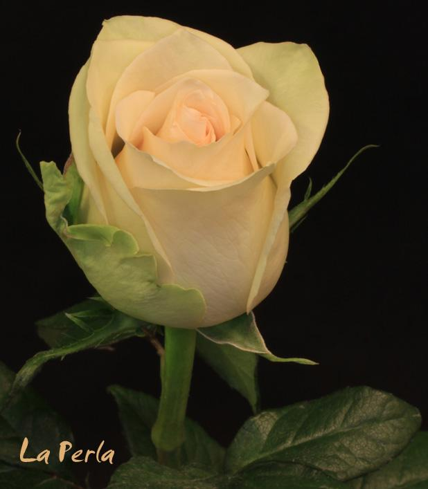 Розы чайные фото