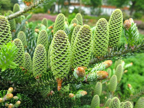Вечнозеленое хвойное дерево