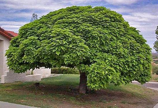 Дерево для сада фото
