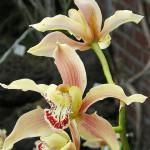Орхидея цимбидиум фото