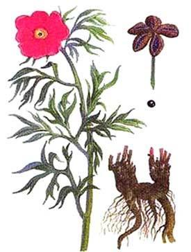 Цветы марьин корень, луганск оптовая база цветов