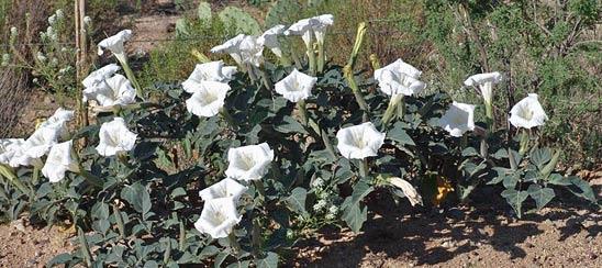Дурман-садовый цветок
