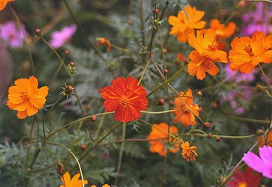 Однолетние цветы, цветущие все лето - название и фото 77