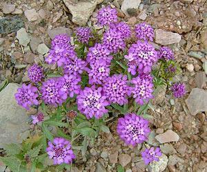 Садовые цветы фиолетового цвета