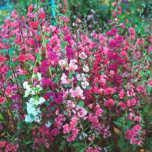 садовые высокие цветы фото и названия
