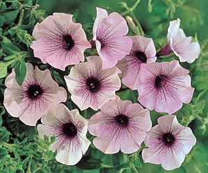 Однолетние садовые цветы фото и название