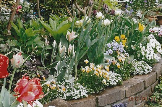 Тюльпан цветок