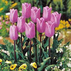 фото цветы тюльпаны
