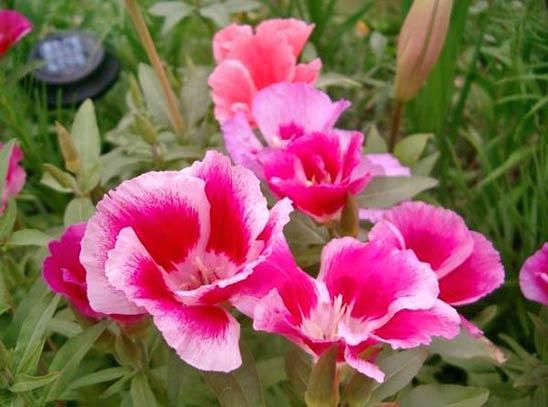 Фото и описание цветка кларкия