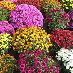 Осенние цветники