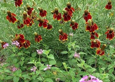 Ратибида выращивание из семян