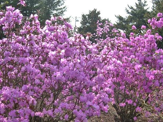 Цветы Рододендрон даурский