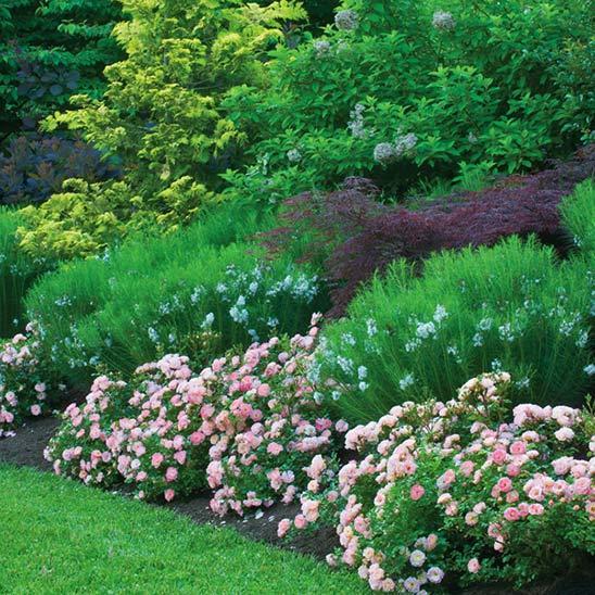 Полиантовые розы посадка и уход