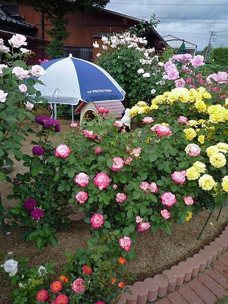 клумбы с розами на даче своими руками