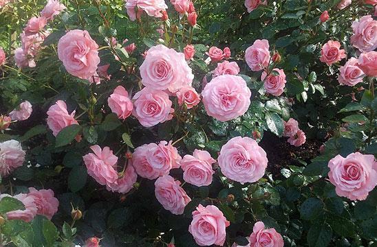 Роза никколо паганини фото и описание