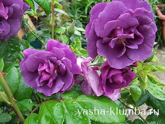 Розы флорибунда посадка и уход