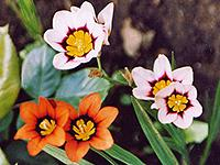 Луковичные цветы для сада