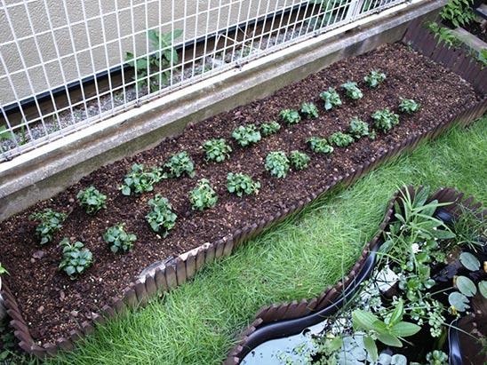 Выращивание бальзаминов из семян