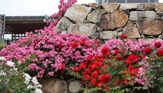 Почвопокровные розы – решение для
