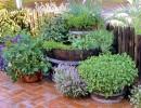 Выращиваем пряные растения