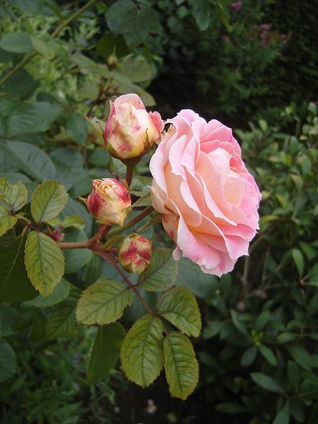 Роза чайно гибридная