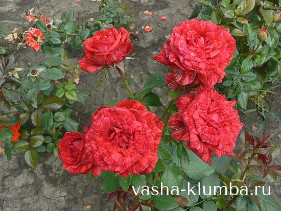 Розы посадка и уход