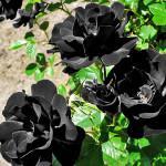 Черные розы фото