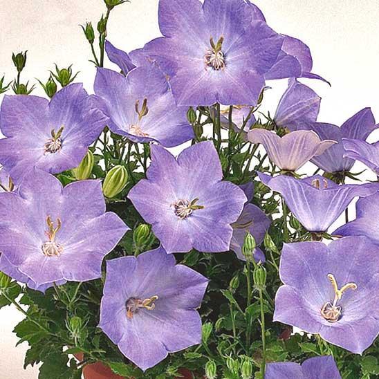 Цветы карпатского колокольчика