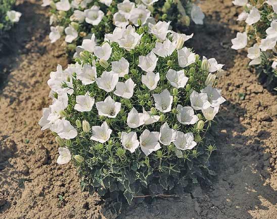 Колокольчик карпатский с белыми цветами