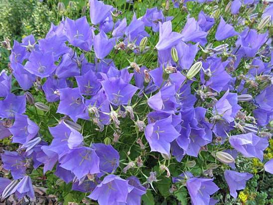 Колокольчик карпатский с голубыми цветами