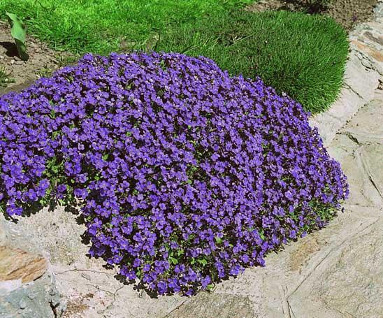 Колокольчик Blaumeise со светло-фиолетовыми цветами