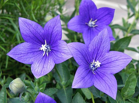 Платикодон крупноцветковый синий