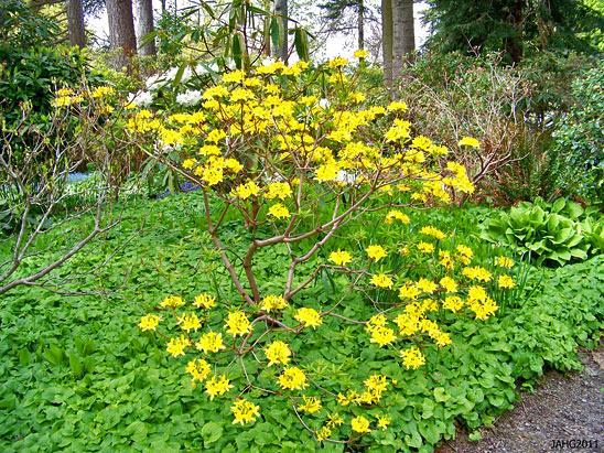 Рододендрон желтый фотография куста