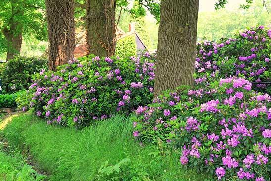 Куст Рододендрона кавказского