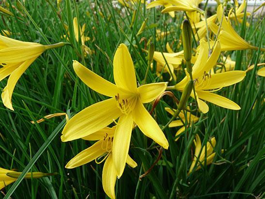 Лилейник малый светло-желтый