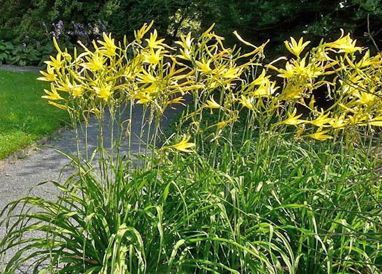 Лилейник желтый Hemerocallis lilio-asphodelus