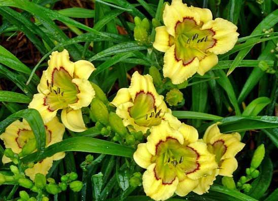 Необычный желто-салатовый цвет лилейника сорта Patchwork Puzzle