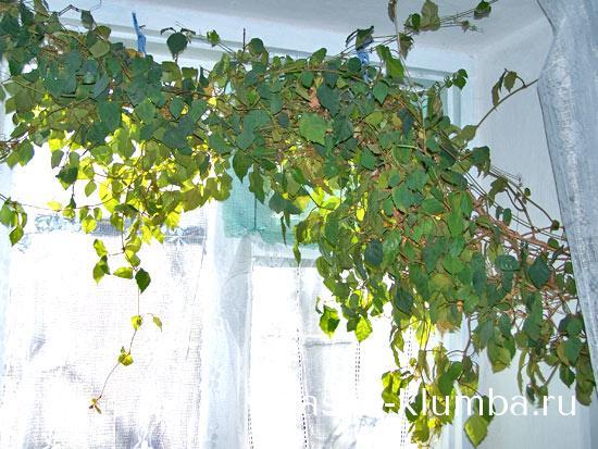 Комнатный виноград или циссус