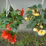 Горшечное растение купить