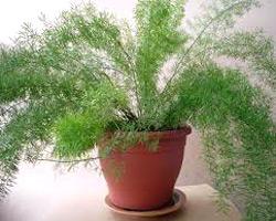 Выращивание Аспарагуса в домашних условиях