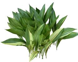Тенелюбивый цветок Аспидистра