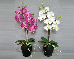 Орхидея фаленопсис предпочитает яркое освещение