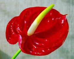 Вечнозеленое растение Антириум